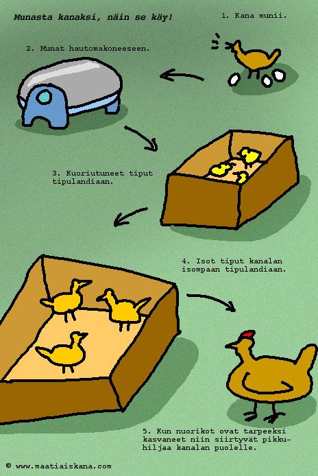 Hedelmöittynyt Kananmuna